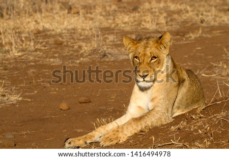 African lion (Panthera leo) - Female, Kruger National Park, South Africa.