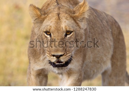 African Lion (Panthera leo), female . Savuti, Chobe National Park, Botswana.