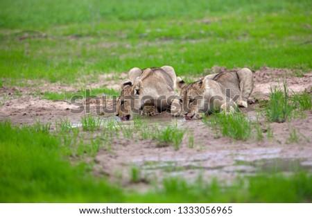 African Lion (Panthera Leo), in rainy season, Kgalagadi Transfrontier Park, Kalahari desert, South Africa.