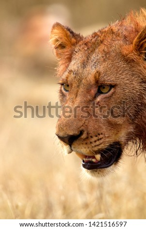 African lion (Panthera Leo), Kruger National Park, South Africa.
