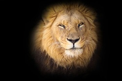 African Lion (Panthera leo leo) on black background