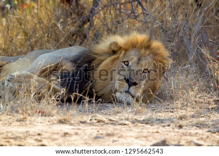 African Lion (Panthera Leo),  Male, Kruger National Park, South Africa.