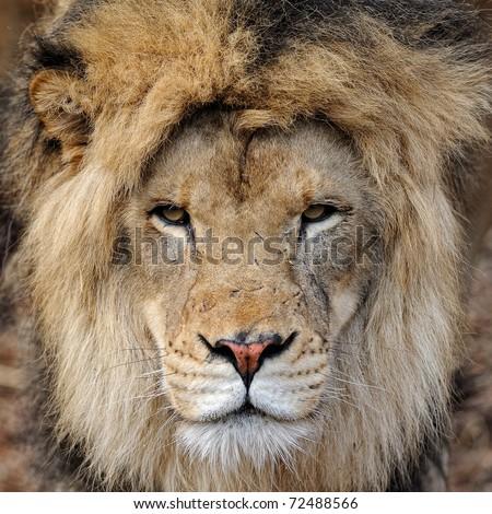 African lion (panthera leo) portrait