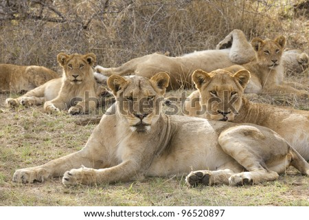 African Lion (Panthera leo) pride, South Africa