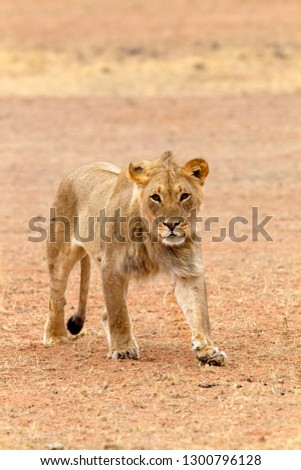 African lion (Panthera leo), young male, Kgalagadi Transfrontier Park, Kalahari desert, South Africa.