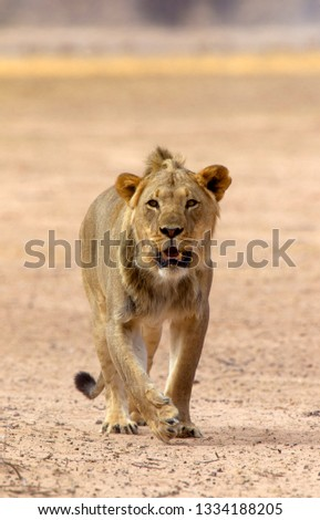 African lion (Panthera leo) - young Male, Kgalagadi Transfrontier Park, Kalahari desert, South Africa.