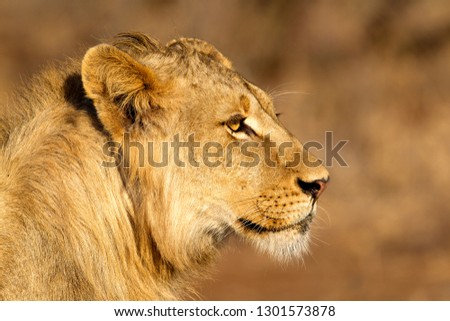 African lion (Panthera Leo), young Male, Kruger National Park, South Africa.