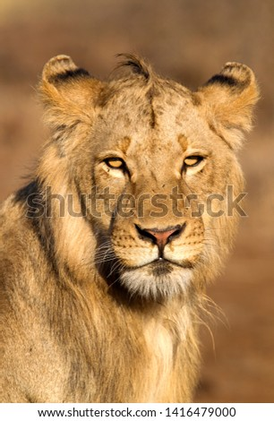 African lion (Panthera leo) - Young male, Kruger National Park, South Africa.