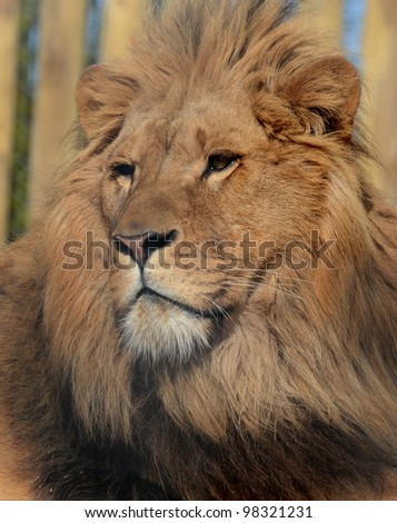 African Lion Portrait - stock photo