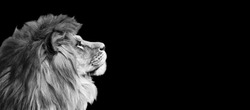African lion profile portrait on black background, spectacular dramatic king of animals, proud dreaming Panthera leo looking forward. Photo banner with copy space toned in black and white colors.