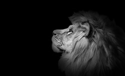 African lion profile portrait on black background, spectacular dramatic king of animals, proud dreaming Panthera leo looking forward. Low key photo with copy space toned in black and white colors.
