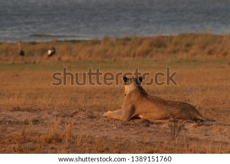 African lion resting on the ban of the Nile river with Grey crowned cranes in the background. A picture from safari in Uganda.