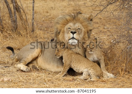 stock-photo-african-lion-with-cub-87041195.jpg
