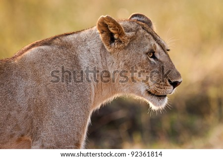 African Lioness in the Maasai Mara National Park, Kenya