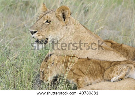 African lioness   (Panthera Leo) resting while her cubs playing around