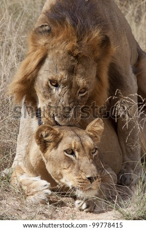 African Lions mating (Panthera leo), Kruger Park, South Africa