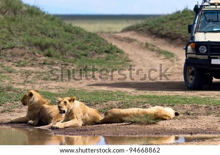 African lions near watering hole in Serengeti National Park - Tanzania
