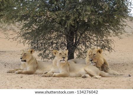 African Lions (Panthera leo) at Kamqua, Kalahari Desert, Kgalagadi transfrontier Park, South Africa