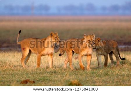 African Lions (Panthera leo), Savuti, Chobe National Park, Botswana.