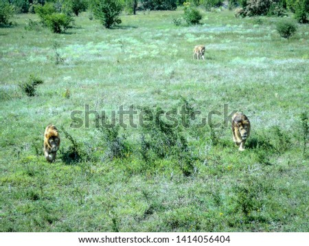 African lions walk among the grass #1414056404