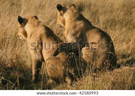 African Lions watching prey in friendship