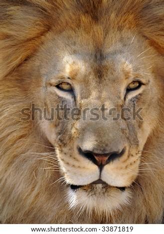 african male lion full frame 2