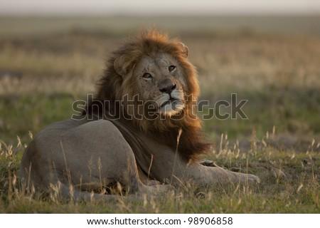 African male lion in Masai Mara at sunset