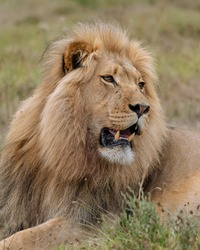 African male lion (Panthera leo) lying down after eating
