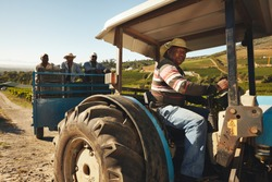 African man driving a tractor with harvested grapes. Vineyard worker taking grapes to wine manufacturer. Delivering grapes from farm to wine factory for making wine.