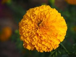 African marigold, Aztec marigold, Big marigold, yellow flower.