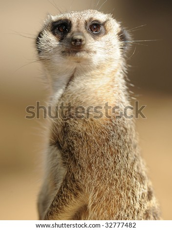 african meerkat close up looking at camera, south africa