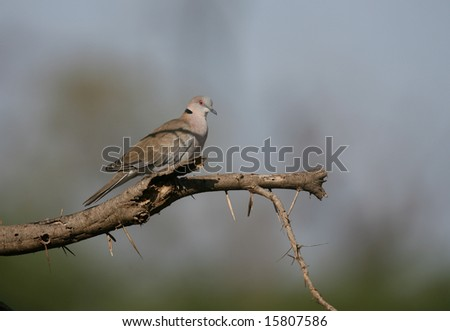 African Mourning Dove perched on a tree limb