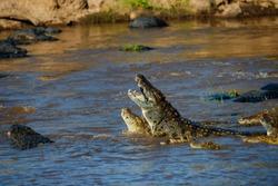 African Nile Crocodiles in the Mara River with zebra carcass in mouth in Masai Mara, Kenya