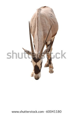 African oryx gemsbok, isolated on a white background