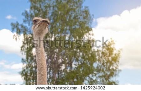 african ostrich on an ostrich farm #1425924002