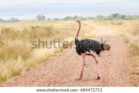 African Ostrich or Common ostrich in a grass land of Masai Mara - Kenya - Shutterstock ID 684472711