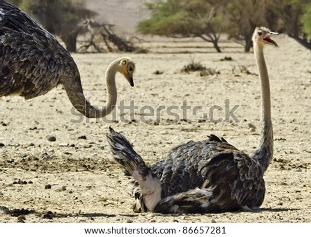 African ostrich (Struthio camelus) in the Negev desert, Hai Bar national reservation, Israel