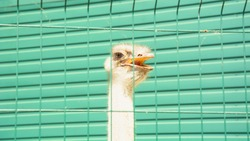 African ostriches, big birds, ostrich eggs, feathers, ostrich feathers, ostrich head, beak, beak, flightless birds, ostrich farm, bird farm, aviary, zoo, bird zoo, beautiful birds