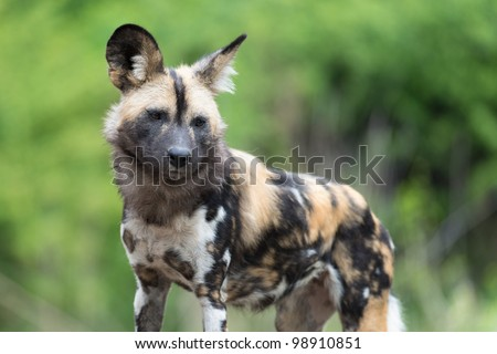 African painted wild dog (Lycaon pictus) against green background