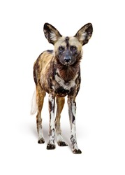 African painted wild dog standing facing forward looking at camera. Isolated on white background.