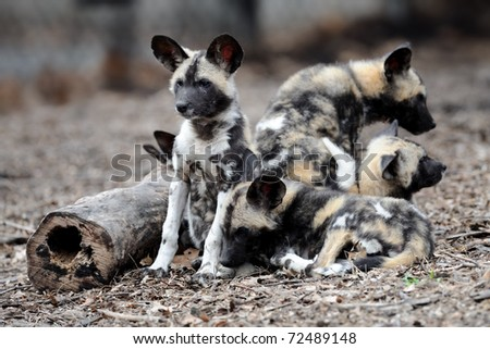 African painted wild dogs (Lycaon pictus) pups