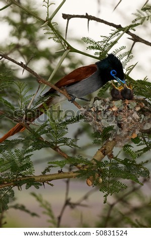 african paradise flycatcher feeding young