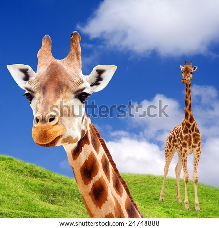 African Pasture with Two Giraffe