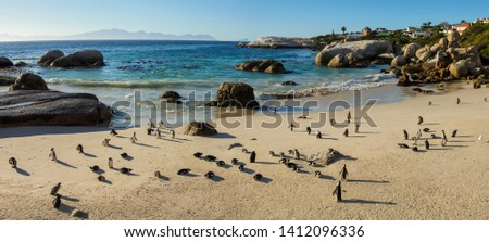 African penguin, black-footed penguin or jackass penguin (Spheniscus demersus) colony at Boulders Beach. Simonstown. Cape Town. Western Cape. South Africa