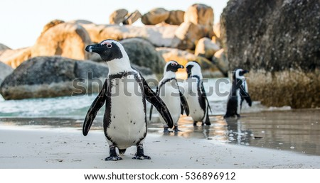 African penguin  on the sandy beach. African penguin ( Spheniscus demersus) also known as the jackass penguin and black-footed penguin. Boulders colony. Cape Town. South Africa