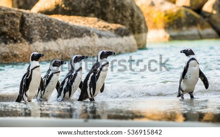 African penguin  on the sandy beach. African penguin ( Spheniscus demersus) also known as the jackass penguin and black-footed penguin. Boulders colony. Cape Town. South Africa #536915842