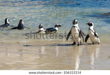 African penguin Pairs