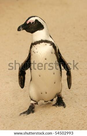 African Penguin, Spheniscus demersus - stock photo