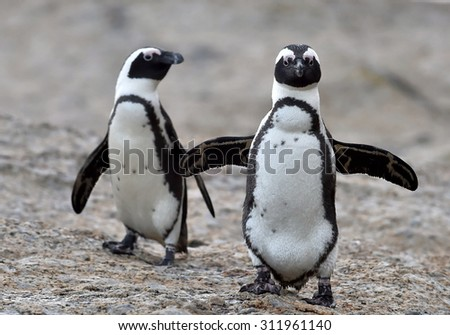 African penguins. African penguin (spheniscus demersus), also known as the jackass penguin and black-footed penguin is a species of penguin Boulders colony in Cape Town,South Africa