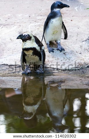 African penguins in the zoo